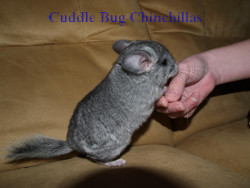 A young chinchilla asking to be picked up.